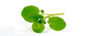 Agrião ( Nasturtium officinalis) - Matéria Prima