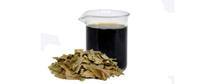 Abacateiro (Persea gratissima) - Produto