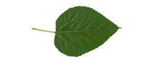 Amora (Morus nigra L.) - Matéria Prima