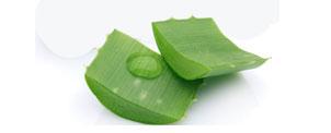 Aloe Vera (Aloe vera L.) - Matéria Prima